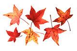 Sweetgum leaves (Liquidambar)