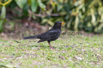Blackbird male on grass