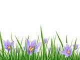 Spring Crocus Border
