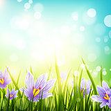 Crocus Flowers Meadow