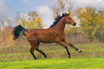Bay stallion run in green field