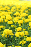 Yellow flower marigold