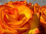 Bright Orange Rose