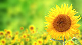 Sunflowers on green background