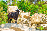 mountain black goat on the rocks
