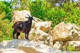 mountain black goat on the rocks