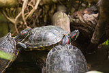 Three terrapin turtles