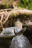 Two terrapin turtles