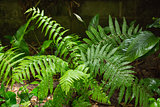 Green ferns in tropical forest