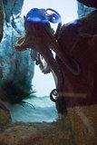 Octopus swimming in fish tank