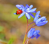 Ladybug on violet flowers in spring time