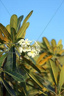 Beautiful flower plumeria