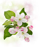 Apple Tree Blossom