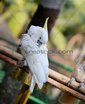 Beautiful white cockatoo