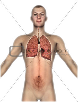 3D male figure with internal organs exposed