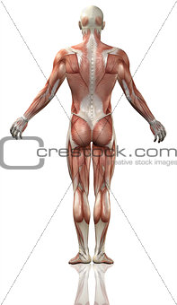 3D male medical figure with muscle map