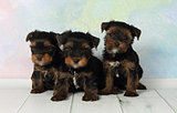 Three puppies Yorkshire terrier
