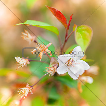 Bloomed cherry flowers