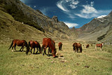 Horses in Andes