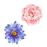 Blue Mona Lisa flower, Pink rose, Spring bloom