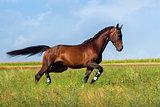 Bay horse run