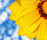 Wet yellow flower background