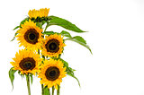 Five sunflower on white background