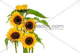 Five sunflower on white background