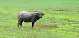 Vietnam buffalo and the rice field