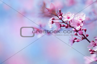 Beautiful cherry blossom