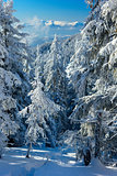 winter forest in the mountains