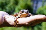 frog on a man's palm. reptile