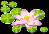 blooming sacred lotus flower