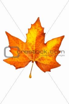 One maple leaf
