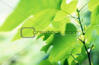 Tulip Tree leaves