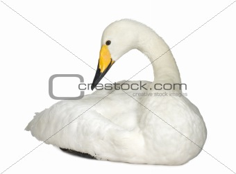 Mute Swan - Cygnus olor