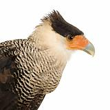 Southern Caracara (3 years) - Polyborus plancus