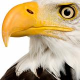 Bald Eagle - 22 years - Haliaeetus leucocephalus