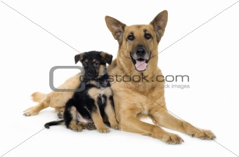 german shepherd (9 years and 7 weeks)/ alsatian, police dog