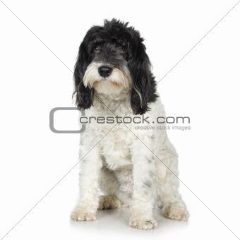 Tibetan Terrier (3 years)
