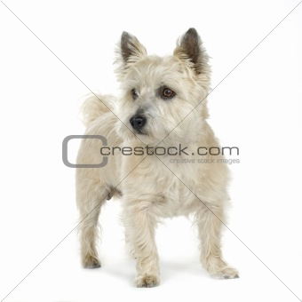 Cairn Terrier (11 years)