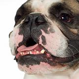 english Bulldog (3 years)