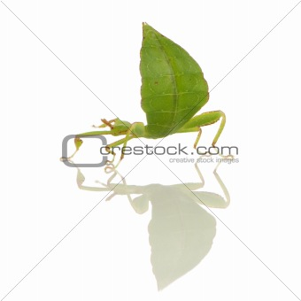 leaf insect, Phylliidae - Phyllium sp