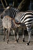 Zebra fedding