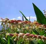 Corn male flowers closeup in the field