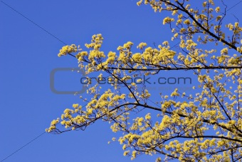 Blooming branch against blue sky