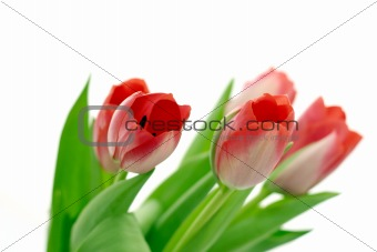 Beautiful delicate tulips