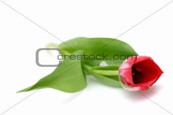 Beautiful delicate tulip