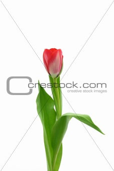 Beautiful delicate tulip