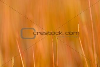 Blades of Juncus gerardii
